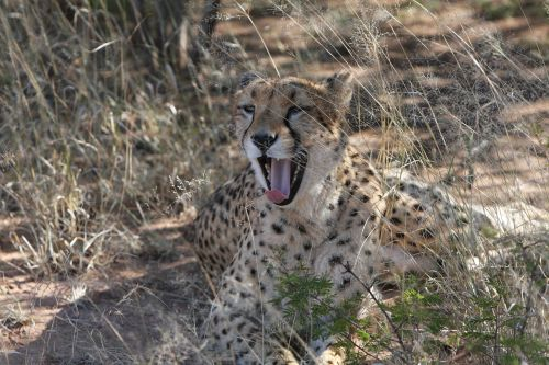 cheetah predator namibia