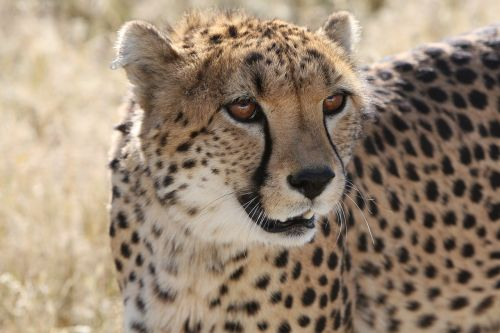 cheetah namibia nature