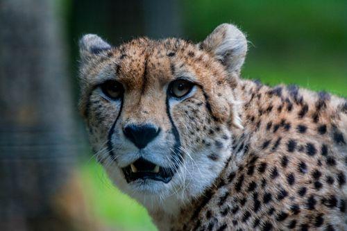 cheetah tasks orange