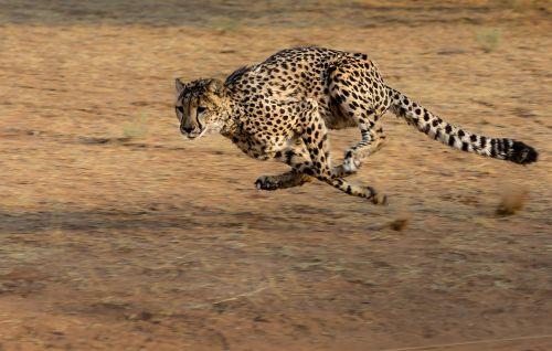cheetah africa namibia