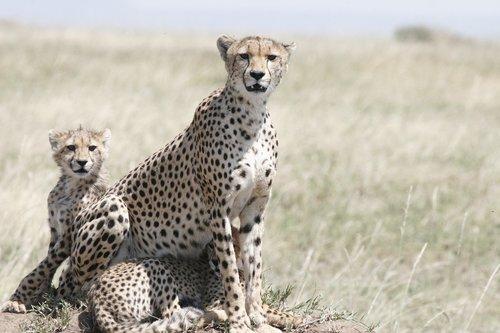 cheetah  cheetah mother  cheetah cub