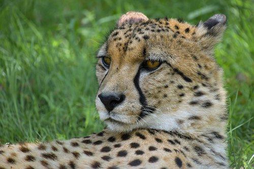 cheetah  portrait  head
