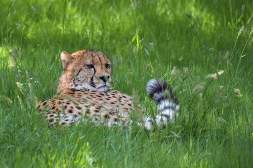 cheetah  elongate  feline