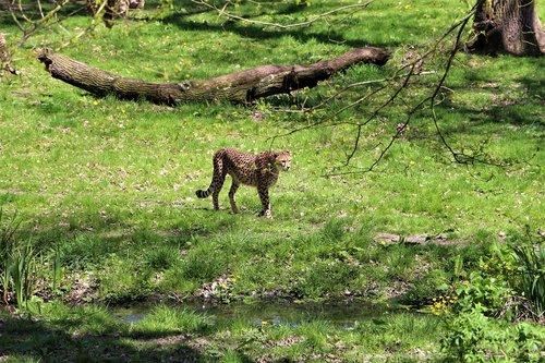 cheetah  zoo  animal