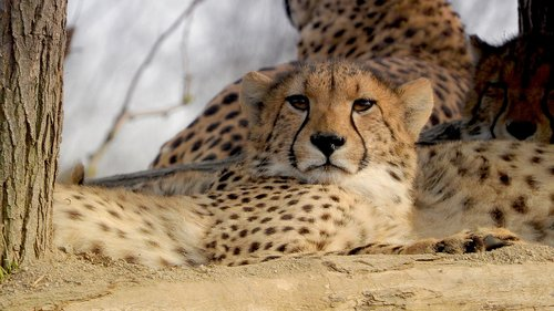 cheetah  baby cheetah  the prague zoo