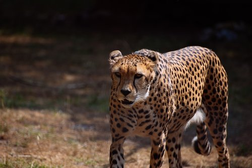 cheetah  big cats  predator