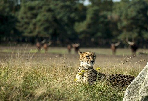 cheetah  big cat  predator