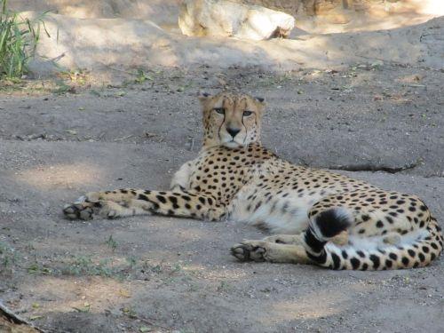cheetah big cat cat
