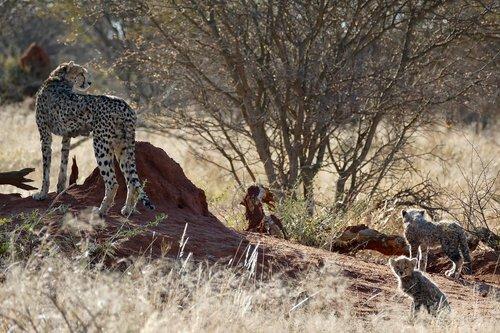 cheetah  cheetah family  big cat