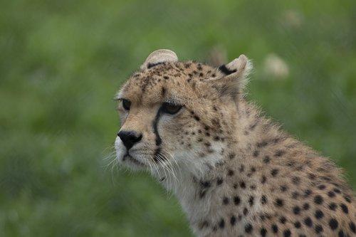 cheetah  fota wildlife park  cobh