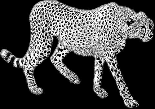 cheetah  cheetah walking  wild cat