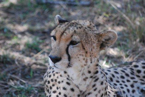 cheetah  wildcat  africa