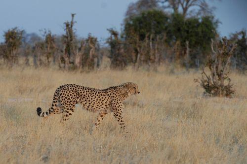 cheetah botswana chobe