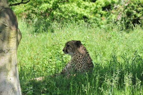 cheetah animal cat