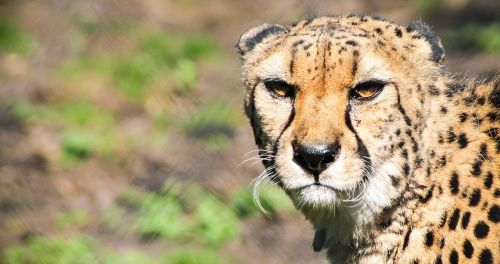 cheetah,feline,big cat,beast,animal,acinonyx jubatus,spotted cheetah,savannah,nature,portrait,cat,predator,mammal,running,free photos,free images,royalty free