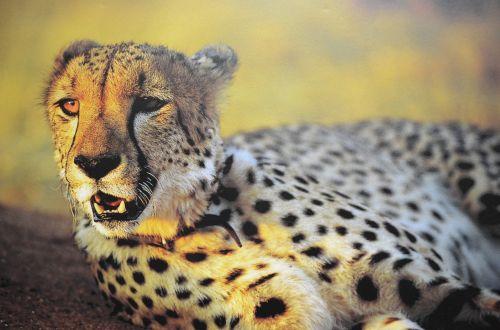 cheetah zoo alert