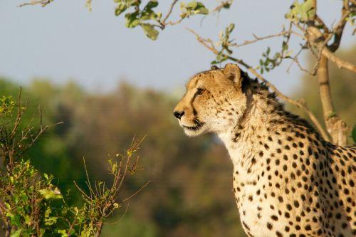 cheetah hunting-leopard wildlife