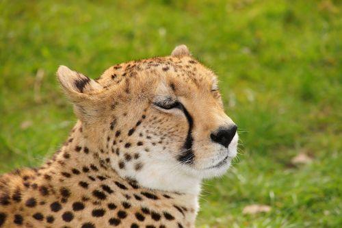 cheetah cat nature