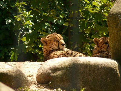 cheetah cat predator