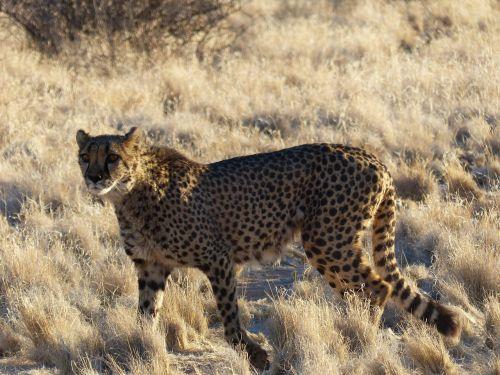 cheetah elegant wildcat
