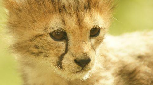 cheetah cub cat feline