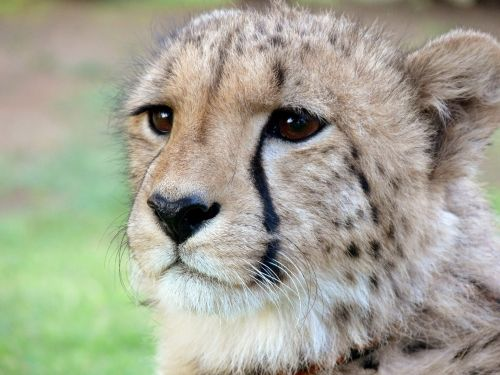 Cheetah Half Profile
