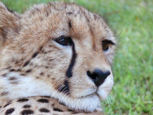 Cheetah Looking Right