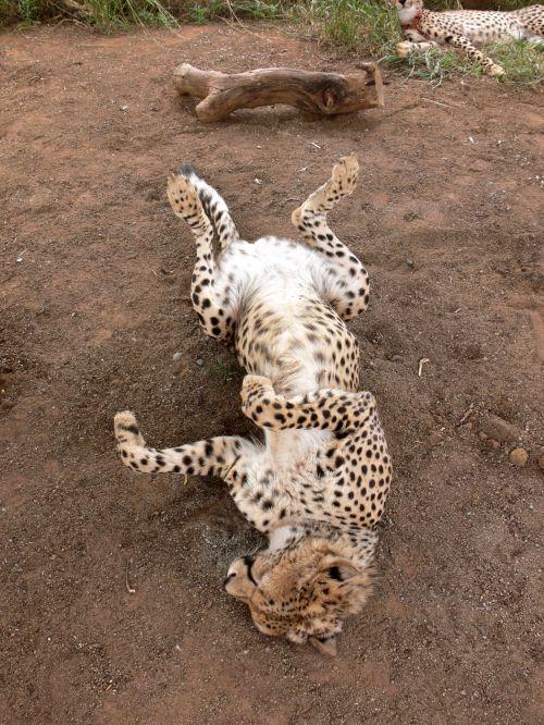 Cheetah On Back