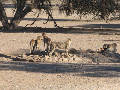 cheetahs kalahari wildlife