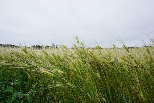 cheongbori  barley  barley field