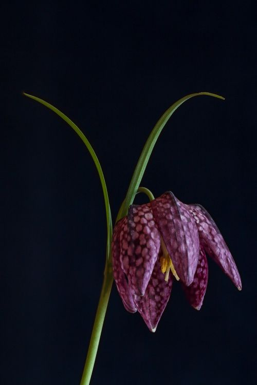 chequered nature flower