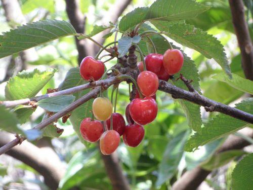 cherries immature white cheeks