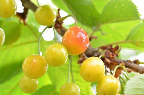 cherries fruit immature