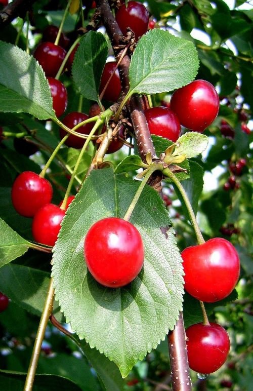 cherries fruit fruits
