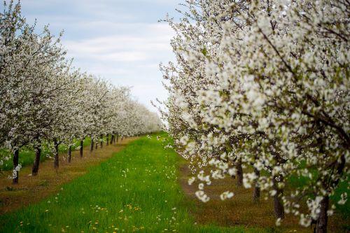 cherries blossoms cherry