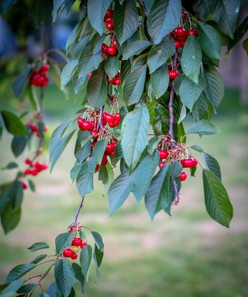 cherries  cherry tree  leaves