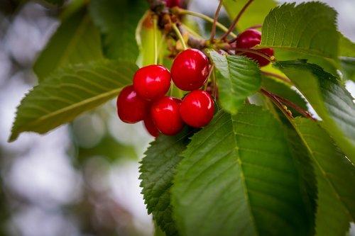 cherries  cherry tree  red