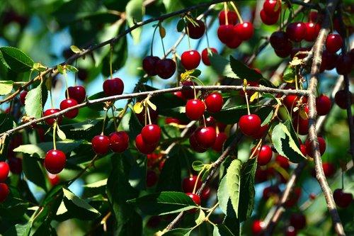 cherries  sour cherries  fruit