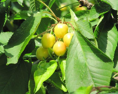 cherries ripening yellow