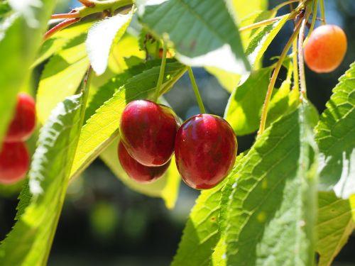 cherries fruits fruit