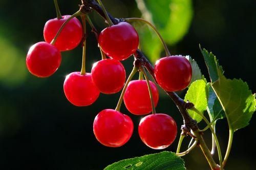 cherries cherry branch