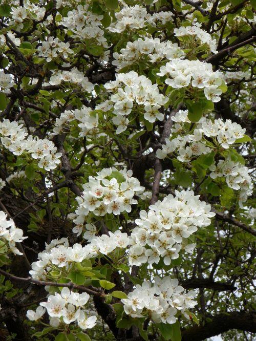 cherry cherry blossom bloom