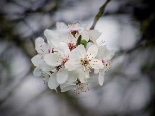 cherry cherry blossom flowering