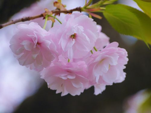 cherry cherry blossoms double cherry blossoms