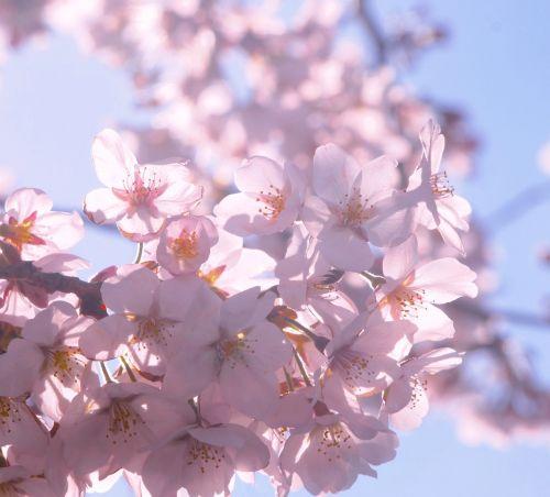 cherry spring sunshine