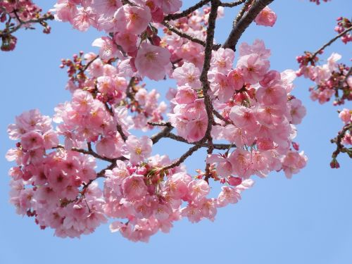 cherry samusakura spring flowers