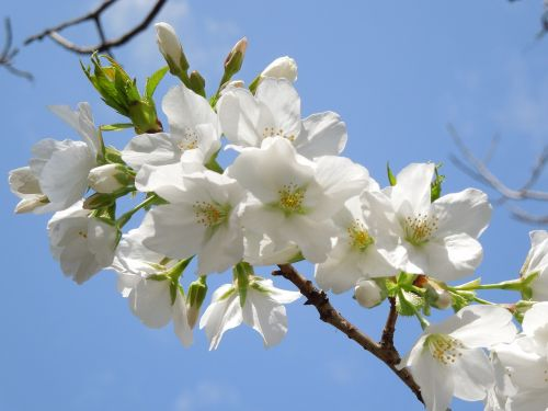 cherry spring flowers spring in japan