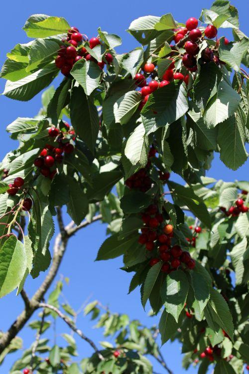 cherry orchard lorraine