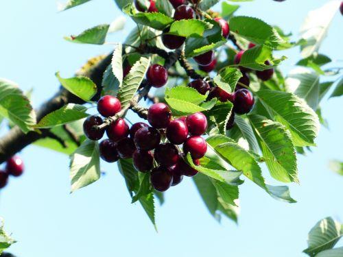 cherry sweet cherry red