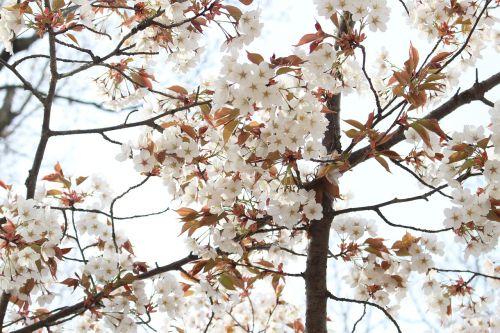 cherry yoshino cherry tree japan